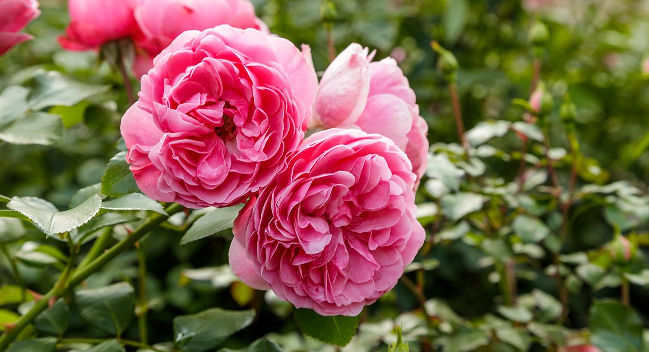 La rose – la charmante reine des fleurs