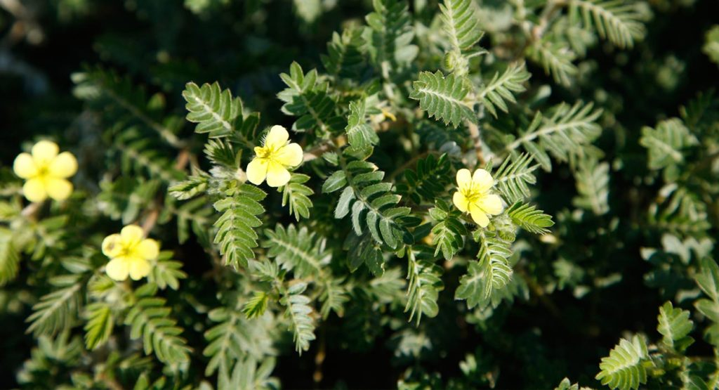 Gokshura – la croix-de-Malte