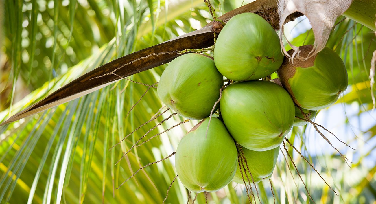 La noix de coco – si rafraîchissante !