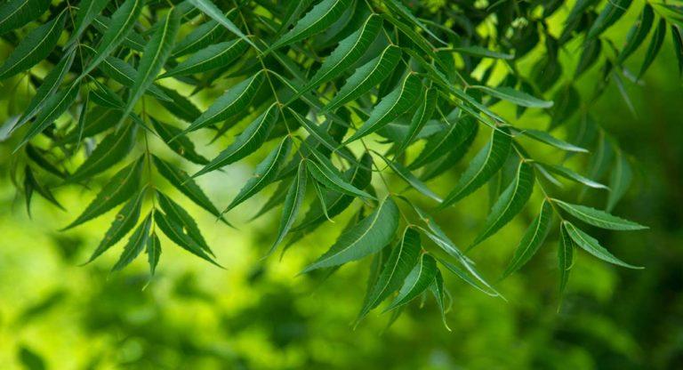 niembaum-kraftvoll-fuer-mensch-tier-und-pflanze