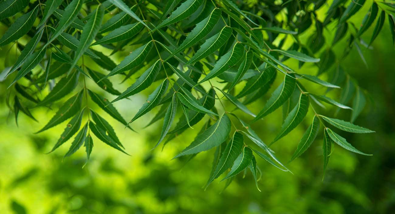 Le margousier – plein de vigueur pour les hommes, les animaux et les plantes