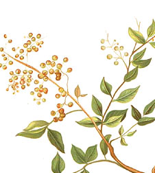 Henna pflanze