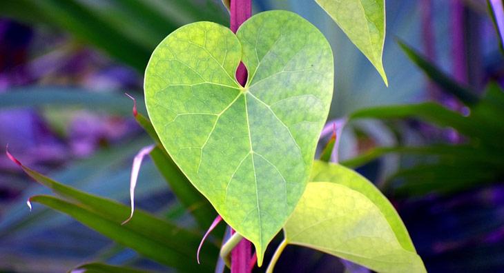 guduchi-pflanze-web