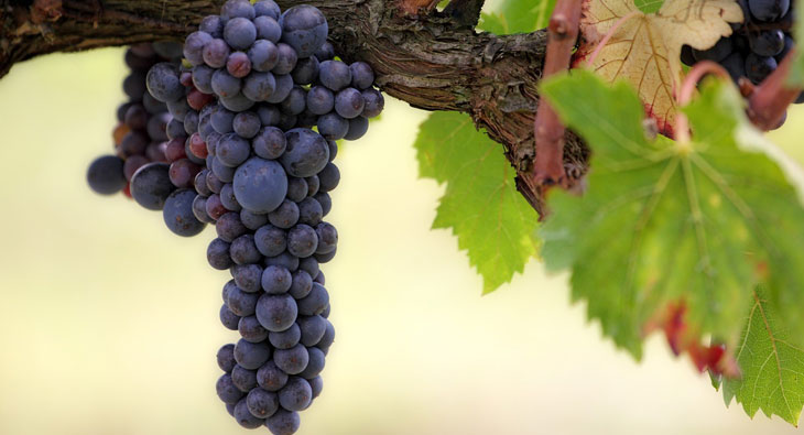 Weintraube – «beste und heilsamste Frucht»