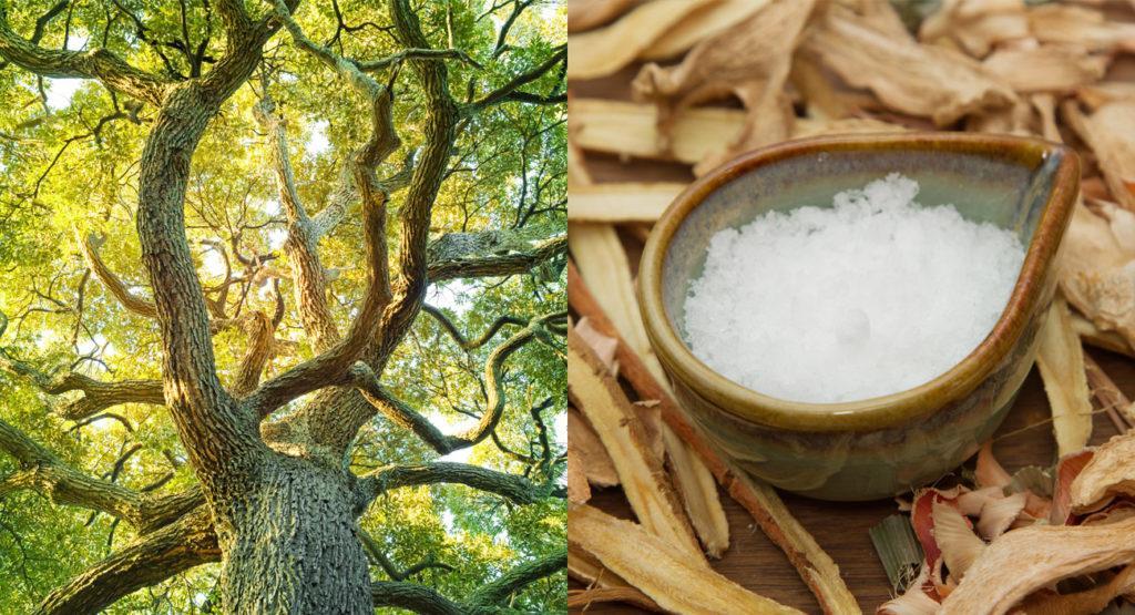 Kampferbaum – Reiniger der Atmosphäre