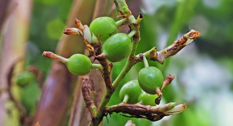 kardamom-pflanze