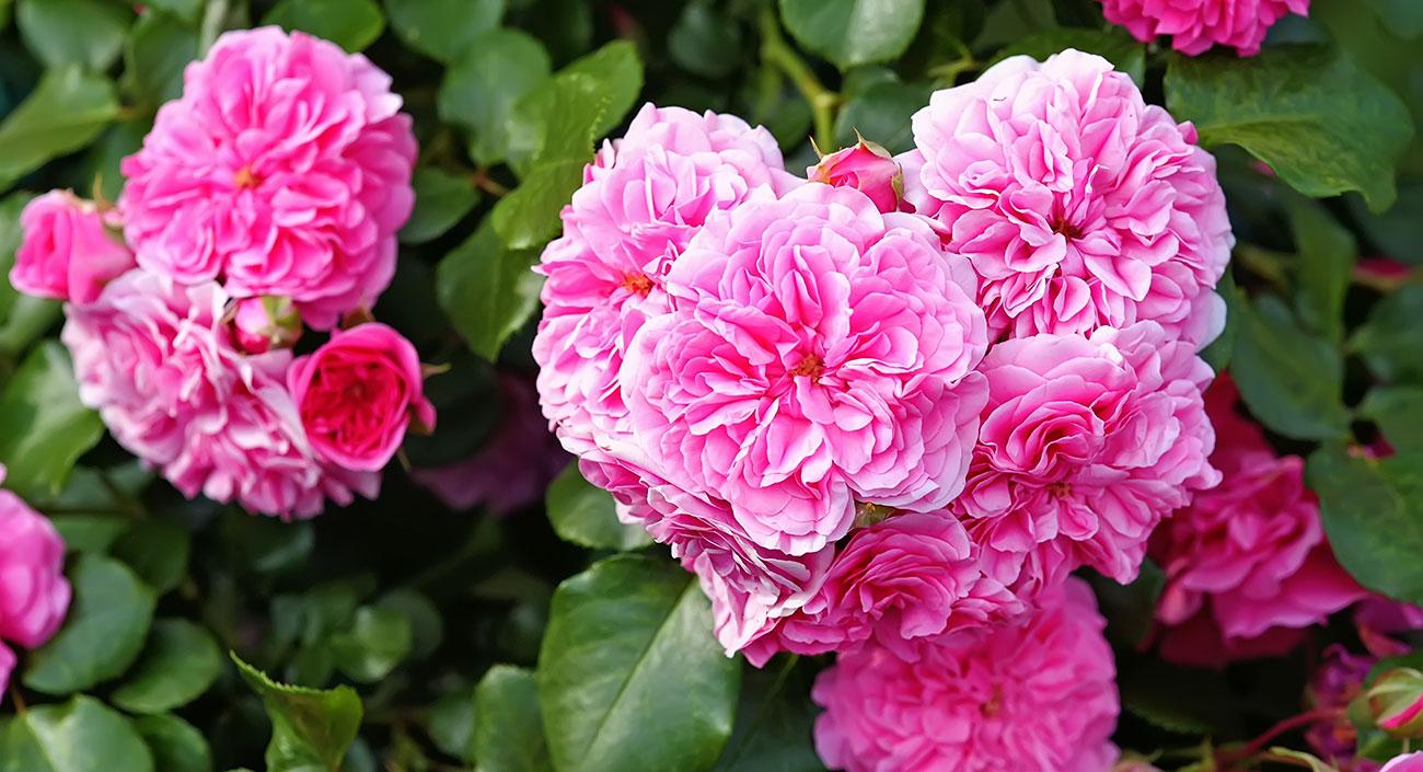 Rose – die bezaubernde Königin der Blumen