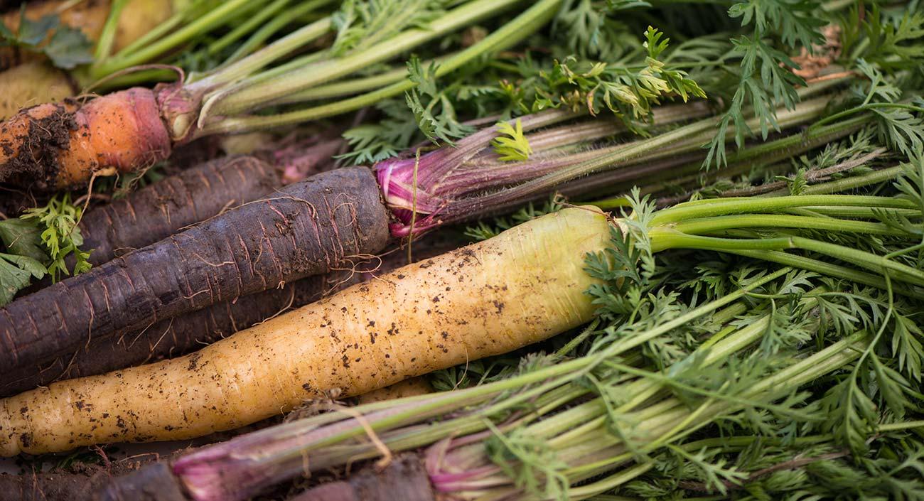 Karotte – wild, kultiviert und farbig