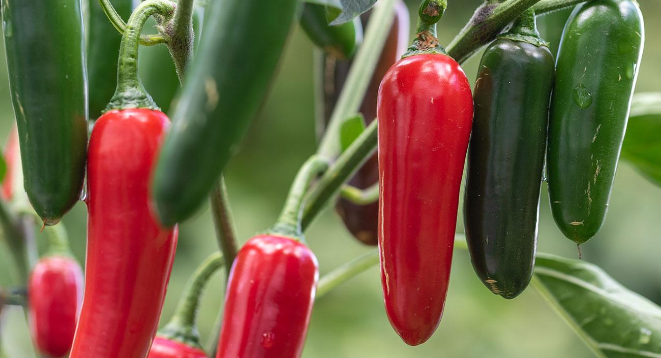 Chili –  feurig scharf