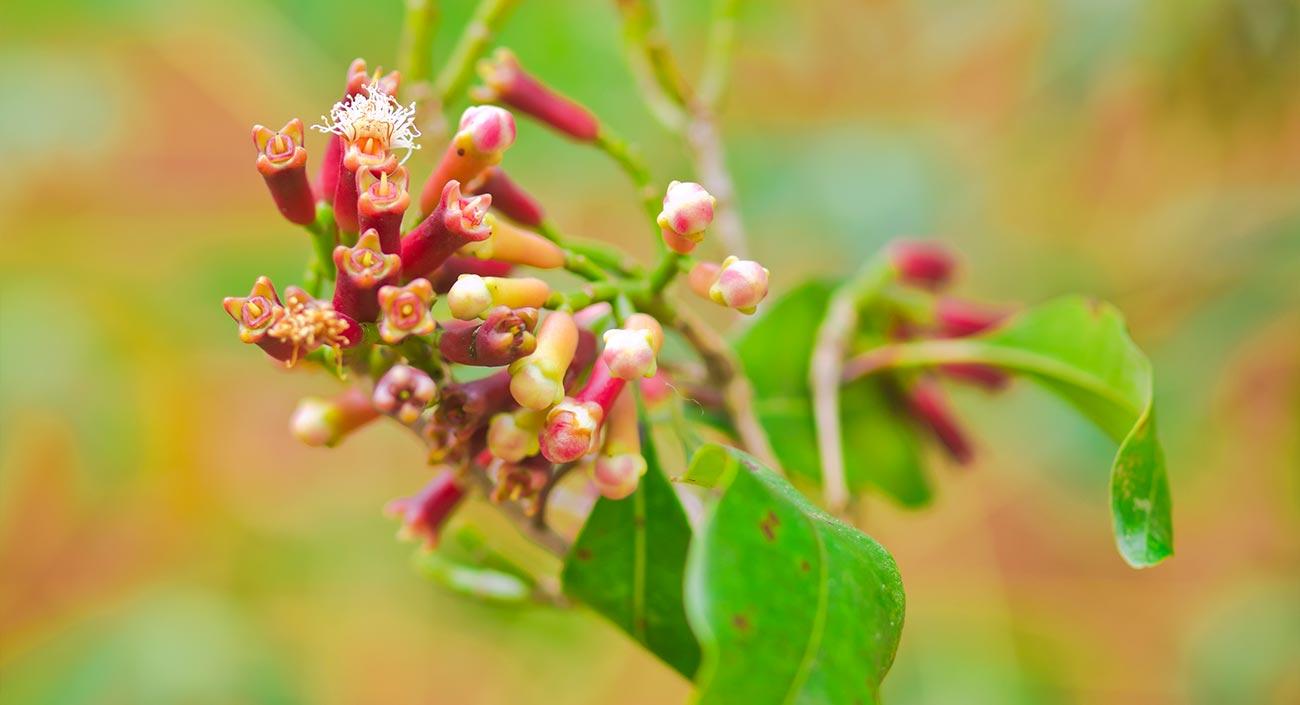 Gewürznelkenbaum – Blüten wie kleine Nägelein