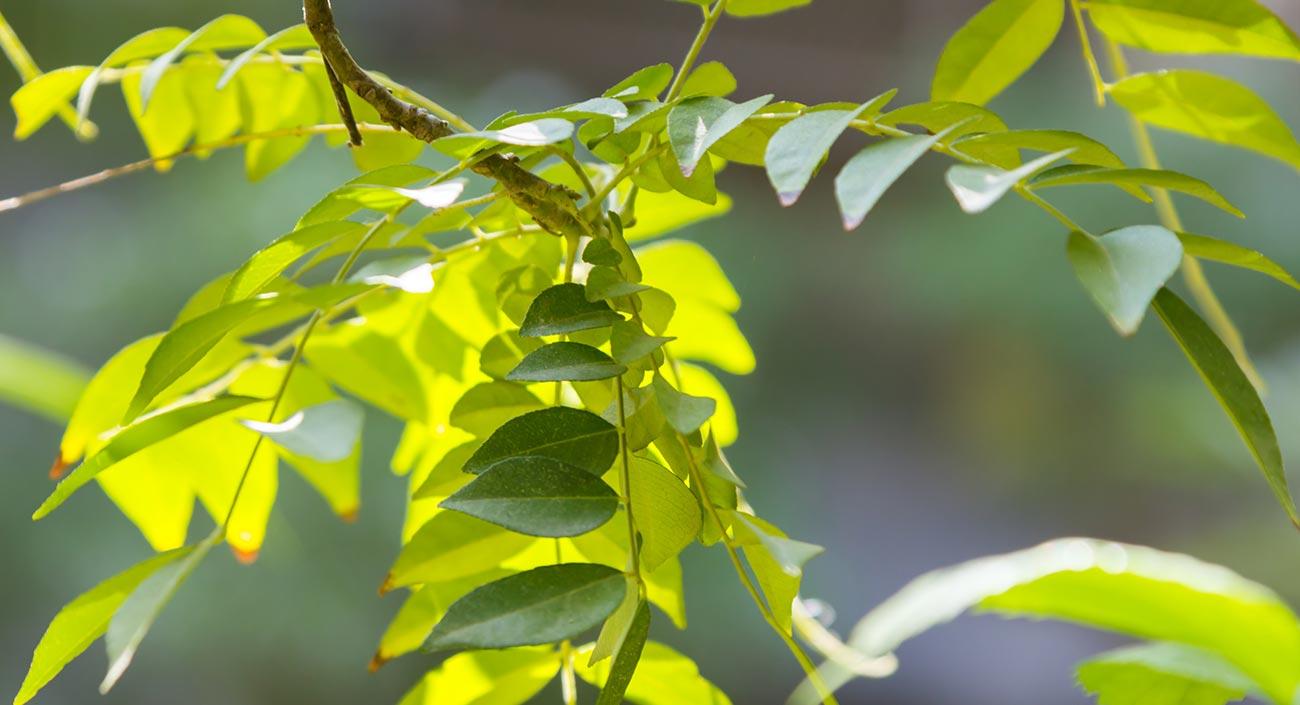 Currybaum – Von «Kari» zu «Curry»